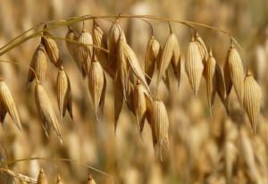 oats-CCO Public Domain-Pixabay
