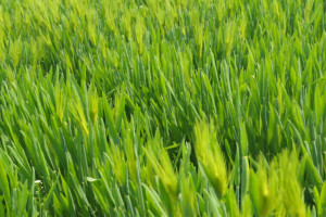 wheat-grass-CCO Public Domain-Pixabay